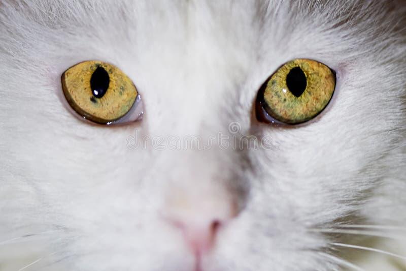 Eyes o gato branco, amarelo Macro Animal de estimação amado home Hipnose do gato imagem de stock royalty free