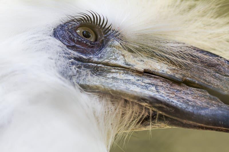 Eyes o ` s disparado do Hornbill do pássaro, comatus Branco-coroado de Aceros do Hornbill fotografia de stock
