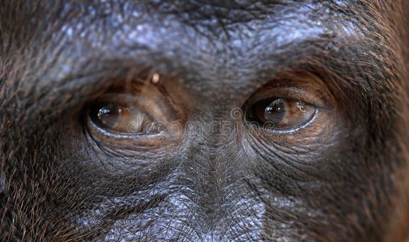 Eyes of the orangutan. royalty free stock photography