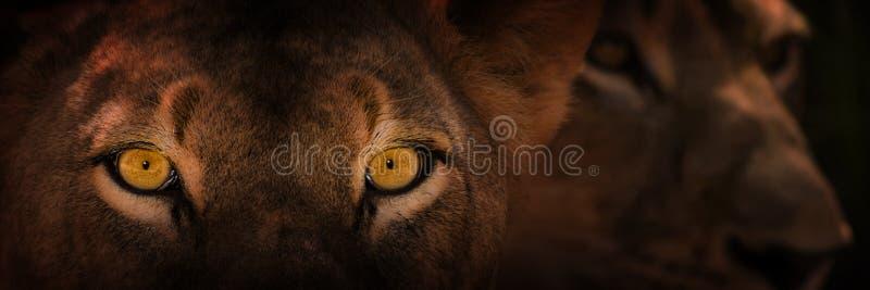 Eyes of staring lion stock photos