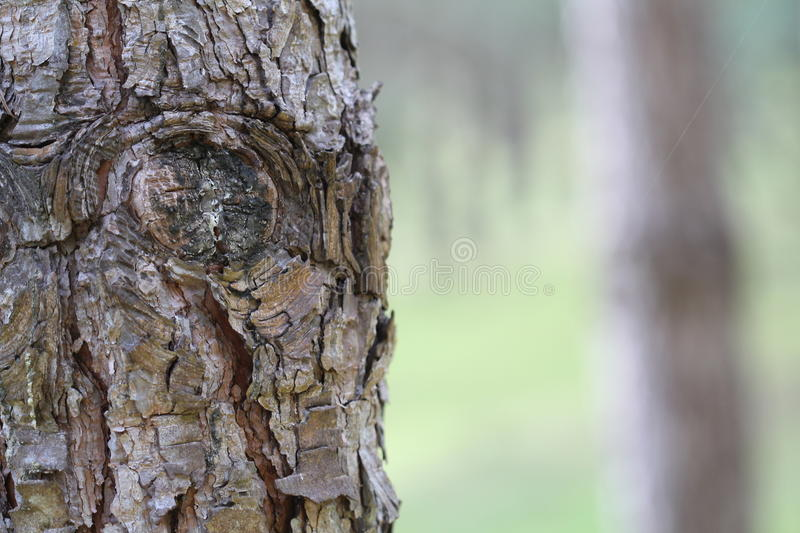 Eyes of a Tree trunk royalty free stock image