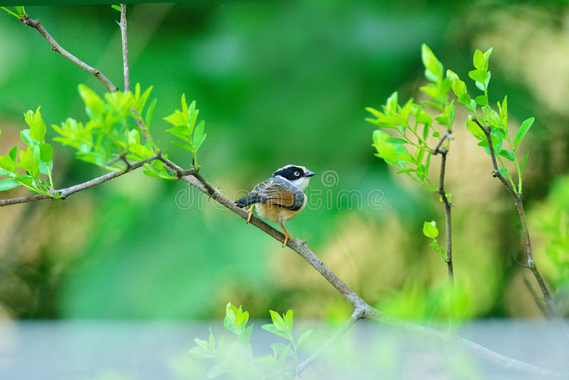 With eyes wide open, seeking for pests. A black-throated bushtit is seeking for pests on a jujube tree stock photo