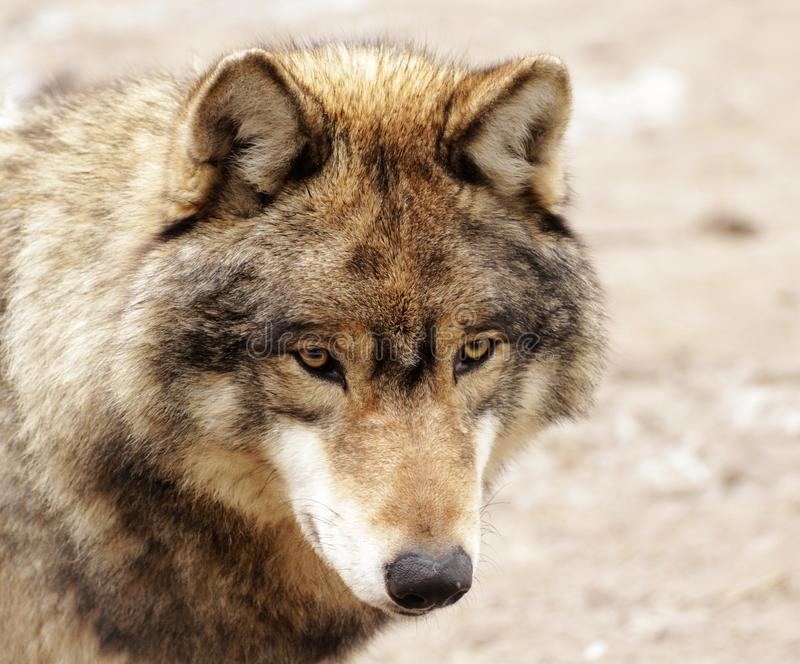 Eyes of a wolf stock photos