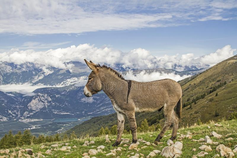 Ezel op een bergweide in Trentino stock foto