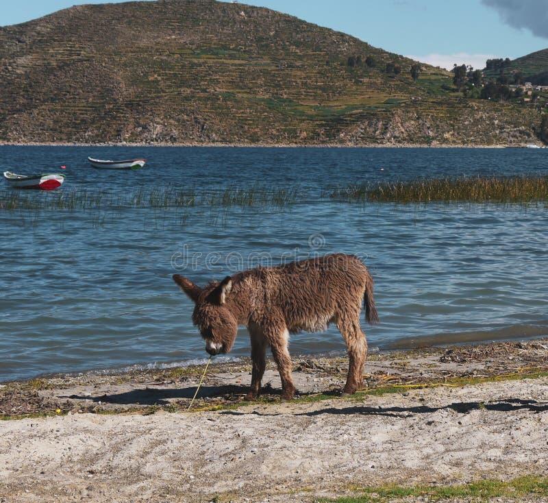 Ezel op een gebied van Salar de Uyuni in Bolivië stock fotografie