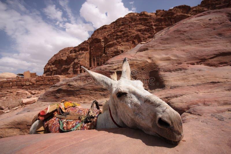 Ezel in Petra stock afbeelding
