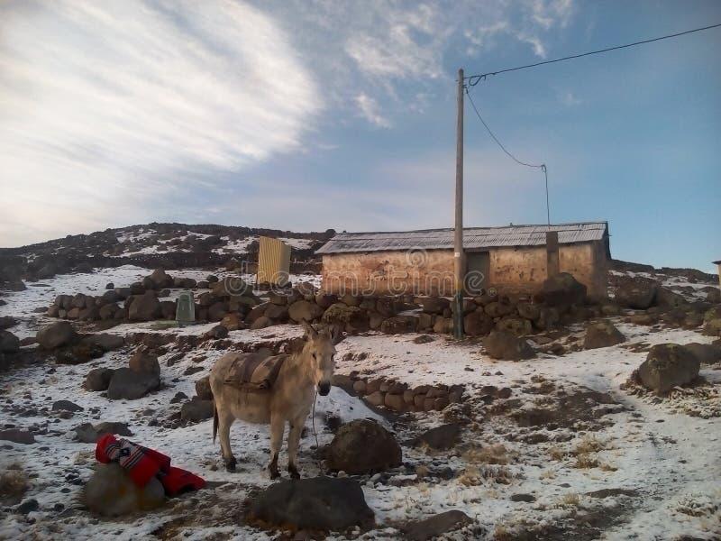 Ezel in sneeuw in de Andes royalty-vrije stock foto's