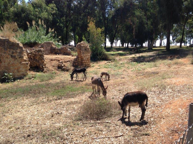 Ezels in Antipatris royalty-vrije stock foto