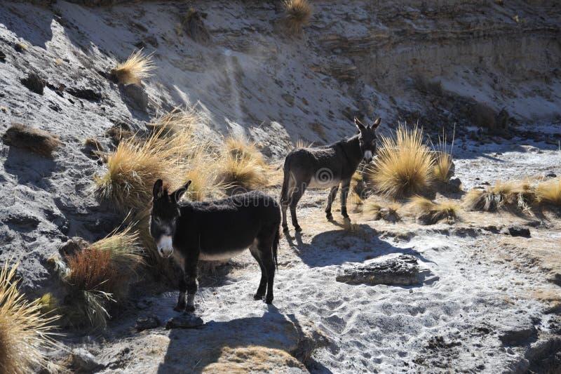 Ezels in de uitgestrektheid van Altiplano stock foto