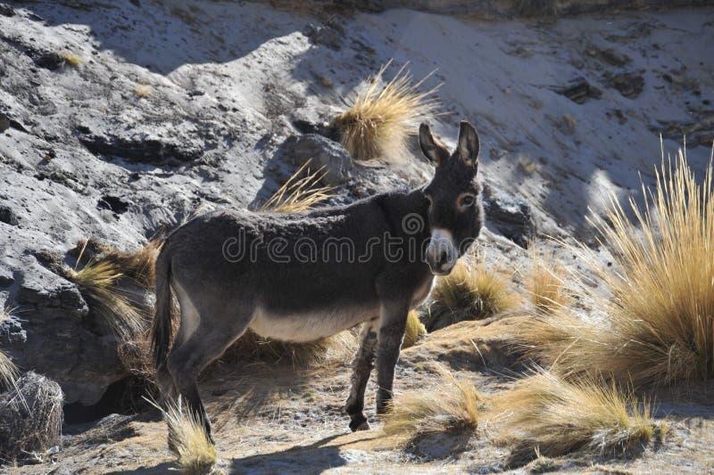 Ezels in de uitgestrektheid van Altiplano stock afbeelding