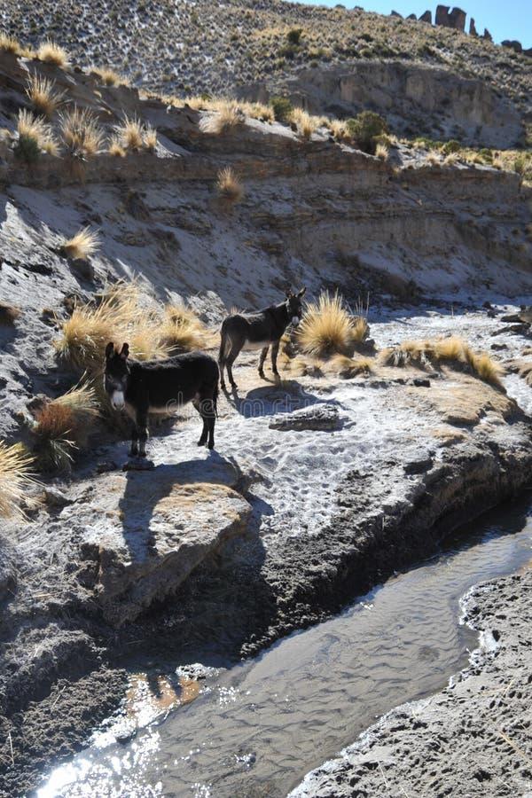 Ezels in de uitgestrektheid van Altiplano royalty-vrije stock afbeelding