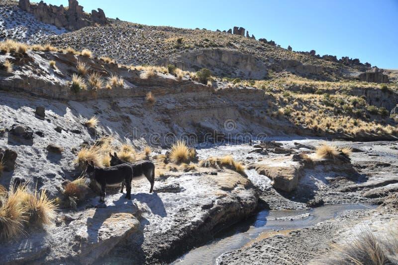 Ezels in de uitgestrektheid van Altiplano royalty-vrije stock foto's