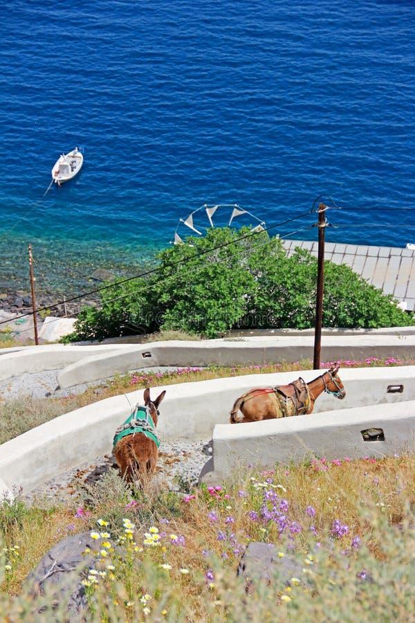 Ezels die onderaan de heuvel in Santorini, Griekenland lopen royalty-vrije stock foto's