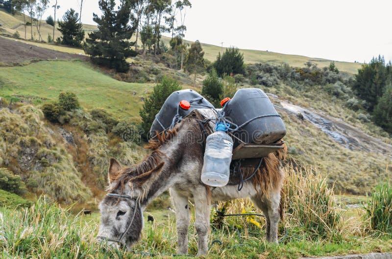 Ezels dragende water en levering Chimborazo, in landelijk Ecuador royalty-vrije stock afbeelding