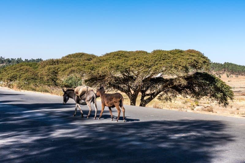 Ezels op de weg van Gondar aan de Simien-bergen, Ethiopië, Afrika stock fotografie