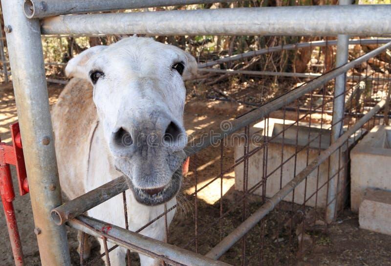 Ezelsgezicht & x28; Equus asinus& x29; royalty-vrije stock afbeelding