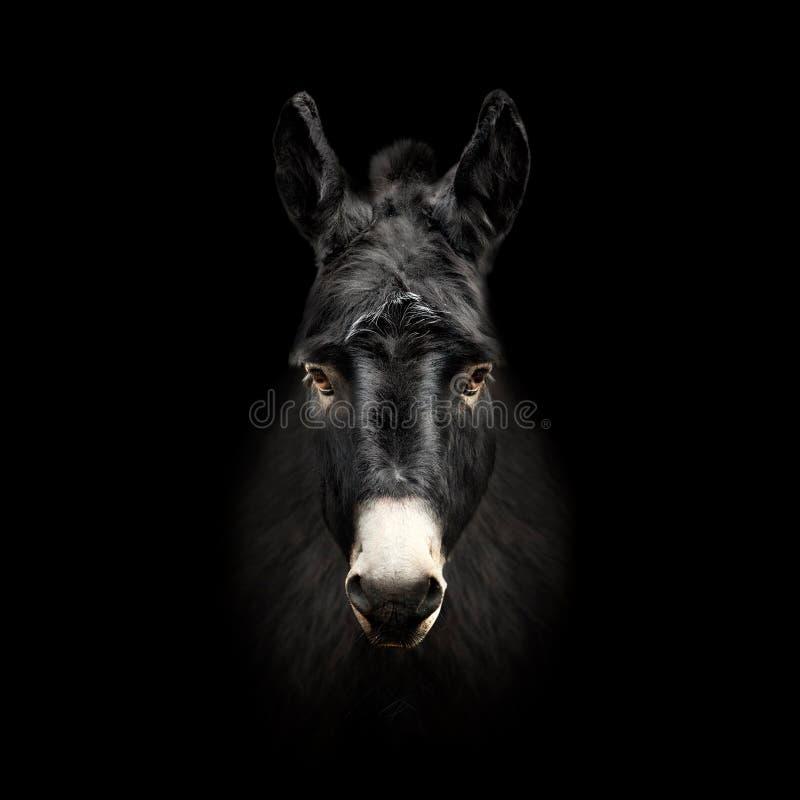 Ezelsgezicht op zwarte achtergrond wordt geïsoleerd die royalty-vrije stock afbeeldingen