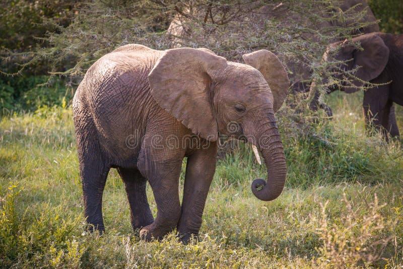 Fá dos elefantes, ily imagens de stock