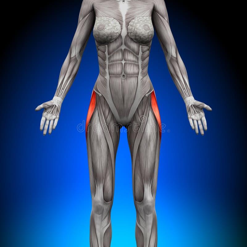 Fáscias Latea do Tensor - músculos fêmeas da anatomia ilustração stock