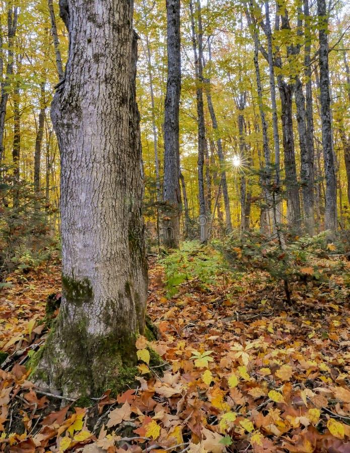 Färgrik höstsoluppgång i en ädelträskog arkivbild