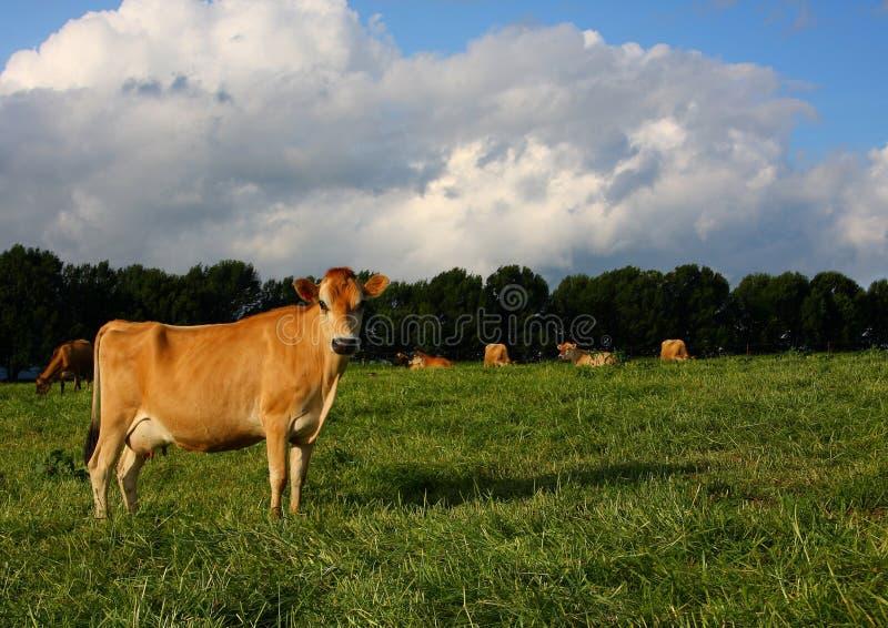 Fällige Jersey-Kuh auf dem Kikuyu-Gebiet lizenzfreie stockbilder
