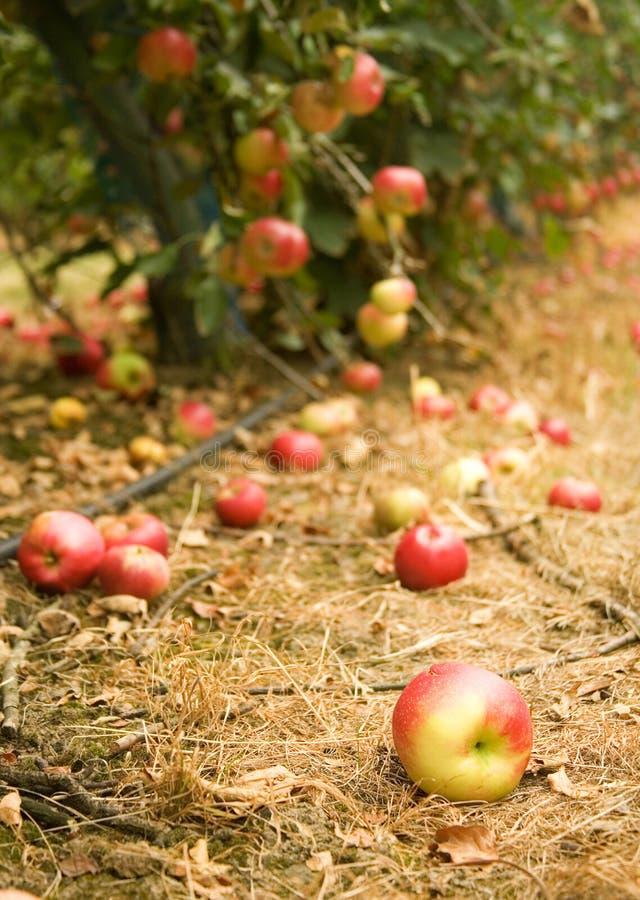 Fälliger Apfel aus den Grund in einem appletree Garten stockbilder
