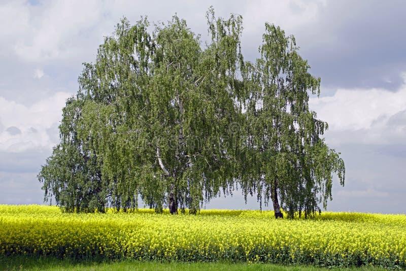 Fält av att blomma canola Hav av gula blommor Björkar på ett rapsfröfält och härliga moln arkivbilder