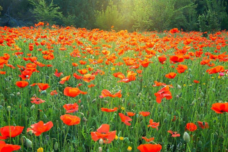Fält av att blomma färgrika vallmo i ljuset av soluppgång arkivfoto