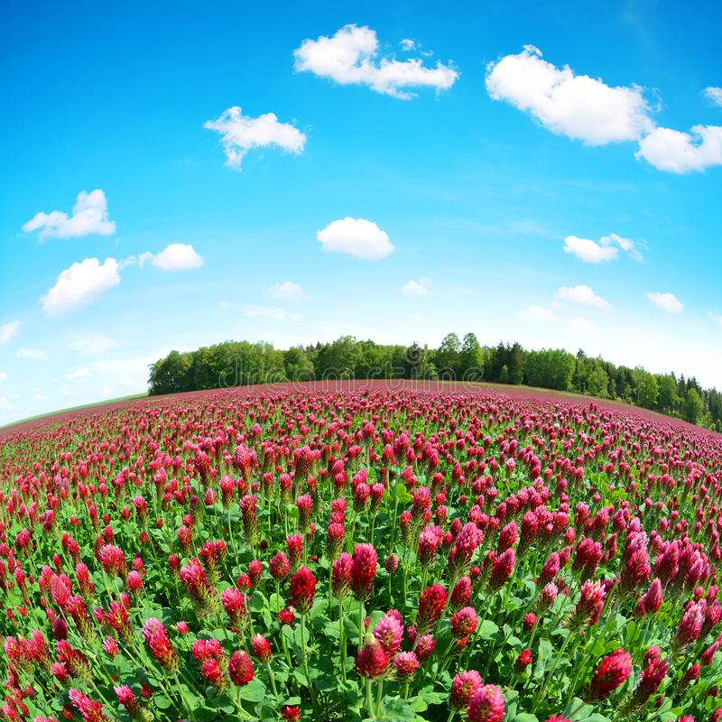 Fält av att blomma Trifoliumincarnatum för karmosinröda växter av släktet Trifolium i lantligt landskap för vår arkivfoton