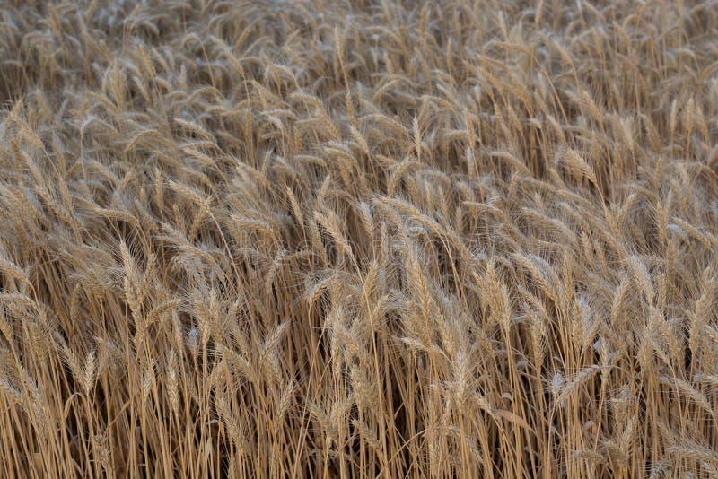 Fält av att mogna korn, korn, råg eller vete i sommar royaltyfri fotografi