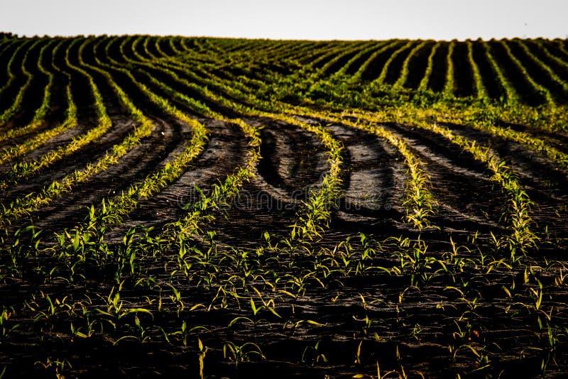 Fält av barnhavre i solen Maize i rader fotografering för bildbyråer