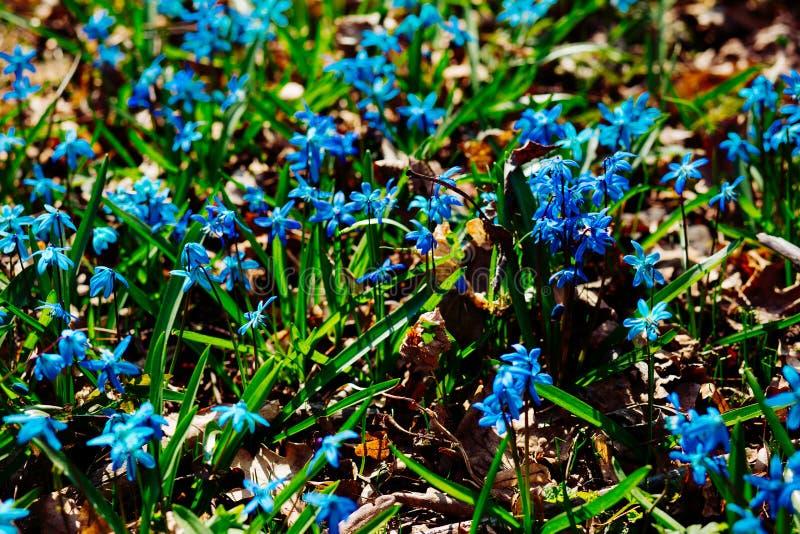 Fält av blåa snödroppar i skogen arkivfoton