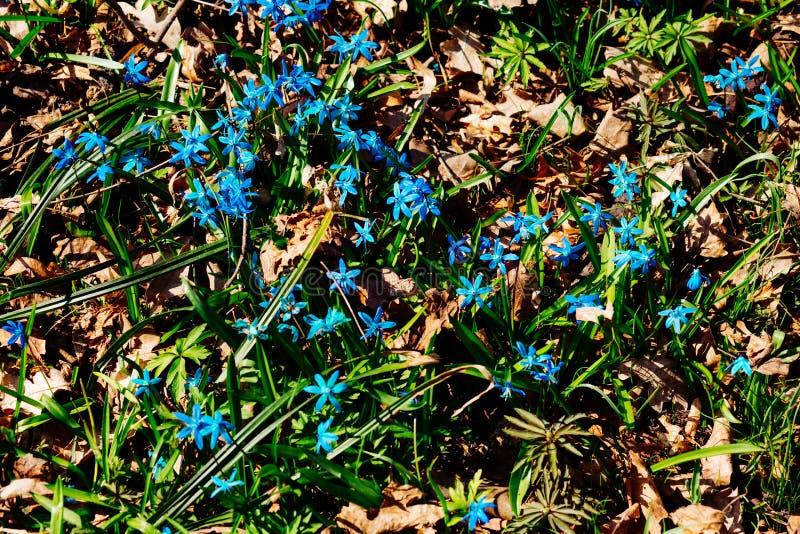 Fält av blåa snödroppar i skogen royaltyfria foton