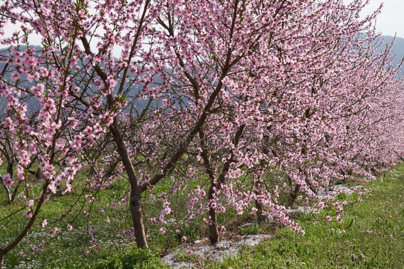 Fält av blommande persikaträd royaltyfria foton