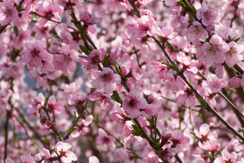 Fält av blommande persikaträd royaltyfri fotografi