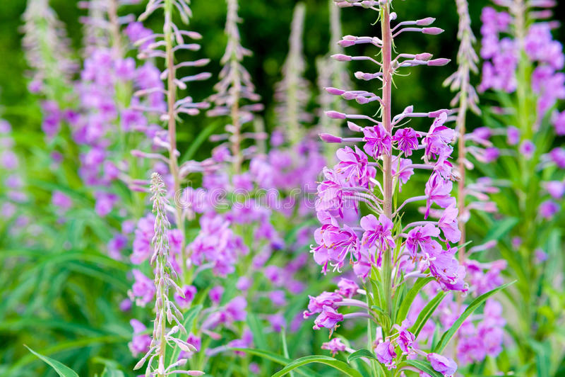 Fält av blommande sallyblommor Purpur alpin Fireweed arkivbild