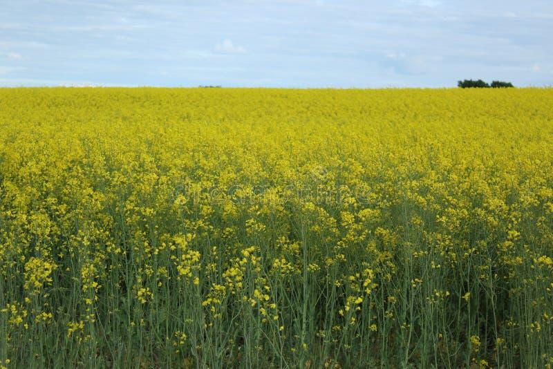 Fält av blommande senap royaltyfria foton