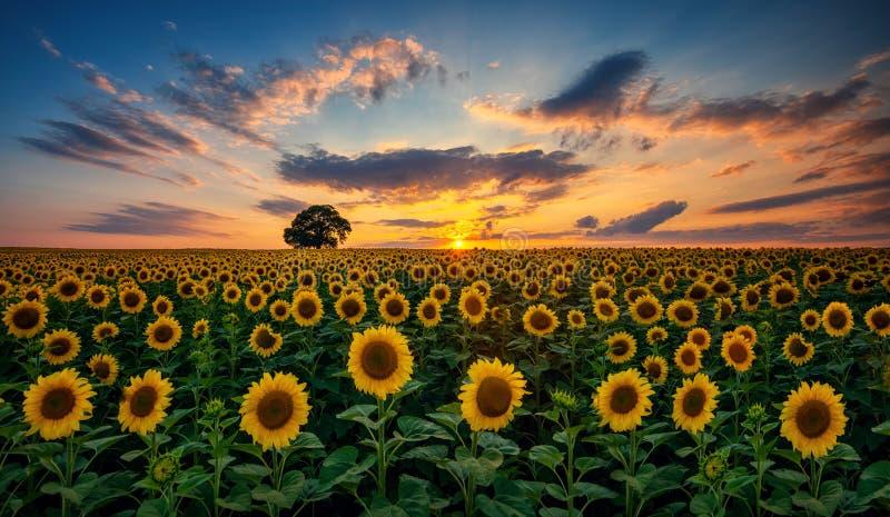 Fält av blommande solrosor och trädet på en bakgrundssolnedgång arkivfoto