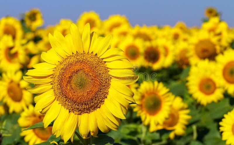 Fält av blommande solrosor på en blå himmel för bakgrund royaltyfria bilder