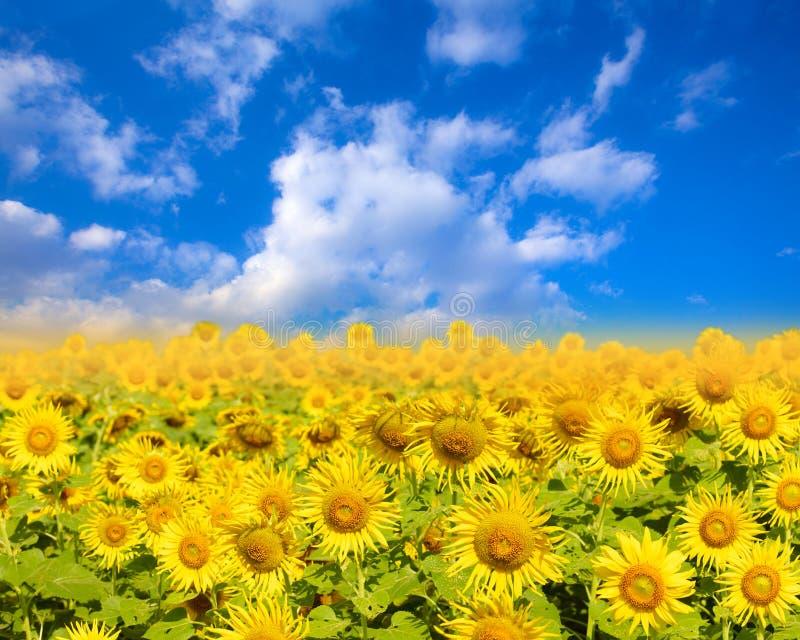 Fält av blommande solrosor på en blå himmel för bakgrund arkivbilder