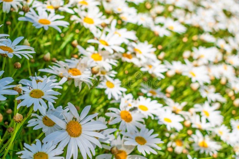 Fält av blommor 3 för vit tusensköna royaltyfri foto
