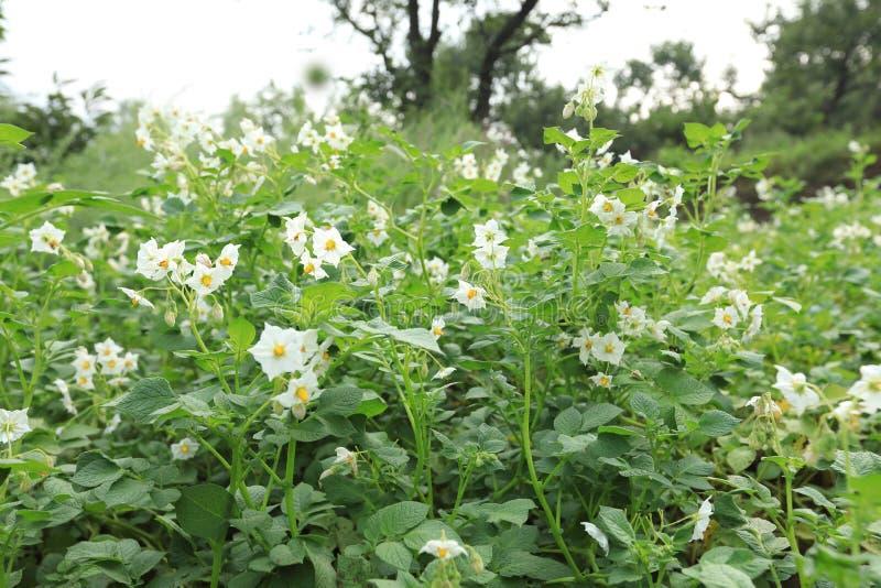 Fält av blomningpotatisar arkivbild