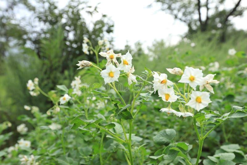 Fält av blomningpotatisar royaltyfria foton