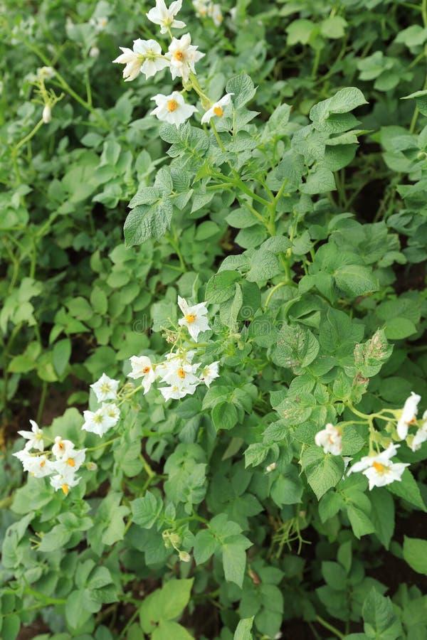 Fält av blomningpotatisar royaltyfri fotografi