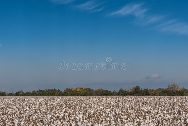 Fält av bomull som blommar under blå himmel arkivfoton