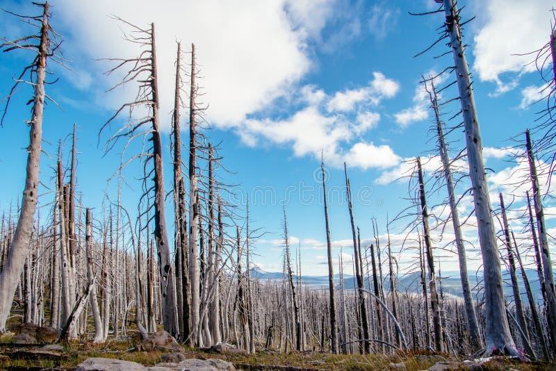 Fält av brända döda barrträdträd med ihåliga filialer i härlig gammal skog efter förödande löpeld i Oregon royaltyfri foto