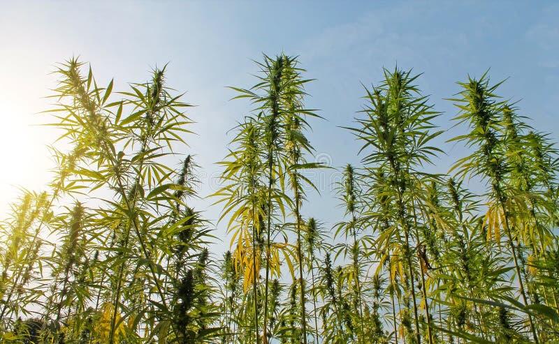 Download Fält Av Cannabisväxten Med Knoppar Fotografering för Bildbyråer - Bild av hashish, makro: 78729025