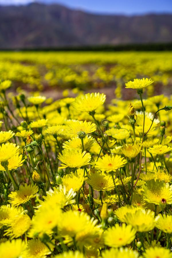 Fält av den ökenmaskrosMalacothrix glabrataen som blommar i den Anza Borrego ökendelstatsparken under en toppen blom för vår, San arkivfoton
