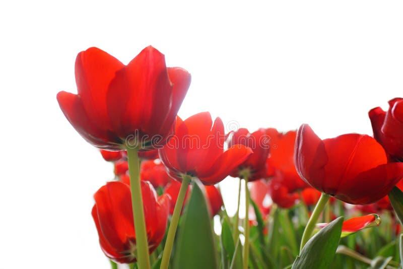 Fält av den härliga röda tulpanblomman på vit bakgrund royaltyfri foto