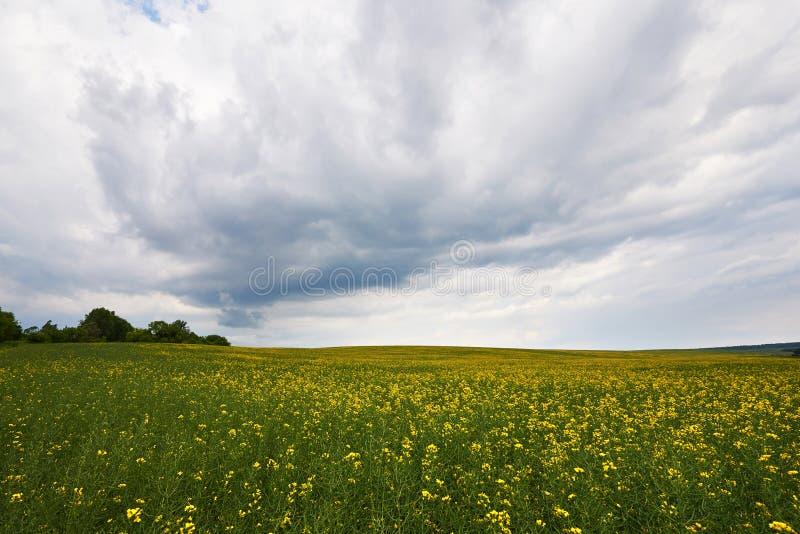 Fält av den ljusa gula rapsfröt i vår Den olje- rapsfröBrassicanapusen kärnar ur våldtar arkivfoton